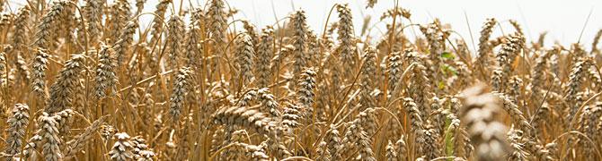 Getreideernte mit dem Lohnunternehmen Walter Schütt